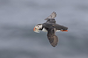Atlantic Puffin (Fratercula arctica) flying with prey, Grimsey Island, Iceland - Michael Milicia/ BIA