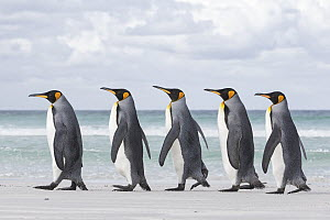 King Penguin (Aptenodytes patagonicus) group on beach, Volunteer Point, Falkland Islands - Michael Milicia/ BIA