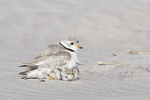 Piping Plover (Charadrius melodus) parent sheltering chicks, Massachusetts  -  Michael Milicia/ BIA