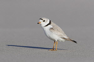 Piping Plover (Charadrius melodus), Massachusetts - Michael Milicia/ BIA