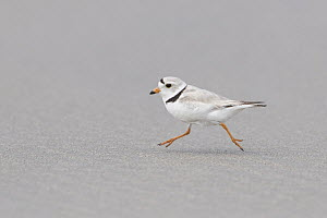 Piping Plover (Charadrius melodus) running on beach, Massachusetts - Michael Milicia/ BIA