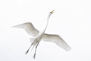 Great Egret (Ardea alba) calling while flying, Florida - Michael Milicia/ BIA
