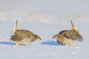 Sharp-tailed Grouse (Tympanuchus phasianellus) males displaying at lek in snow, Minnesota - Alan Murphy/ BIA