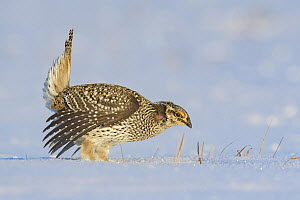 Sharp-tailed Grouse (Tympanuchus phasianellus) male displaying at lek in snow, Minnesota - Alan Murphy/ BIA