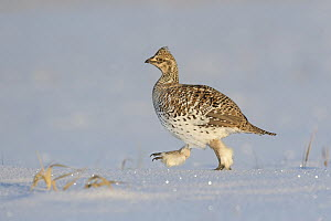 Sharp-tailed Grouse (Tympanuchus phasianellus) in snow, Minnesota - Alan Murphy/ BIA