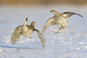Sharp-tailed Grouse (Tympanuchus phasianellus) males fighting at lek in snow, Minnesota - Alan Murphy/ BIA