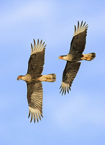 Northern Caracara (Caracara cheriway) chasing sub-adult with prey, Texas  -  Alan Murphy/ BIA