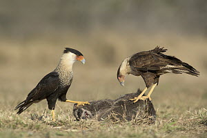 Northern Caracara (Caracara cheriway) and juvenile at carcass, Texas  -  Alan Murphy/ BIA