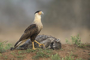 Northern Caracara (Caracara cheriway) sub-adult at Raccoon (Procyon lotor) carcass, Texas  -  Alan Murphy/ BIA