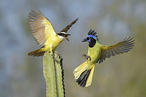 Great Kiskadee (Pitangus sulphuratus) and Green Jay (Cyanocorax yncas) fighting, Texas - Alan Murphy/ BIA