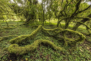 Moss covered trees, Harenna Forest, Bale Mountains National Park, Ethiopia  -  Vincent Grafhorst