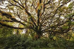 Tree with epiphytes, Harenna Forest, Bale Mountains National Park, Ethiopia - Vincent Grafhorst