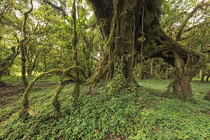 Moss covering aerial roots of tree, Harenna Forest, Bale Mountains National Park, Ethiopia  -  Vincent Grafhorst