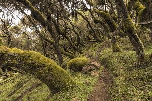 Heath (Erica sp) trees and path, Harenna Forest, Bale Mountains National Park, Ethiopia  -  Vincent Grafhorst