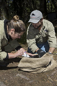 Tasmanian Devil (Sarcophilus harrisii) conservationist, Wade Anthony, and researcher marking devil with bleach for identification before they are returned to the wild, Devils at Cradle, Cradle Mountai...  -  Suzi Eszterhas