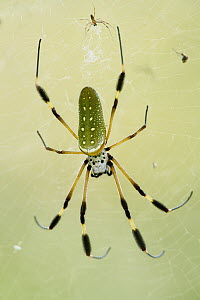 Banana Spider (Nephila clavipes) male and much larger female, Taironaka Lodge, Colombia - Paul Bertner