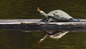 Yellow-spotted Amazon River Turtle (Podocnemis unifilis) with butterfly, Sani Lodge, Ecuador - Paul Bertner