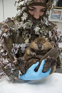 American Beaver (Castor canadensis) wildlife rehabilitator, Jessie Lazaris, holding one-month-old orphaned kit, Sarvey Wildlife Care Center, Arlington, Washington  -  Suzi Eszterhas