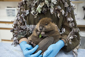 American Beaver (Castor canadensis) wildlife rehabilitator, Jessie Lazaris, holding one-month-old orphaned kit feeding on leaf, Sarvey Wildlife Care Center, Arlington, Washington  -  Suzi Eszterhas