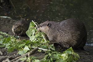 American Beaver (Castor canadensis) mother and eight-week old kit feeding on Willow (Salix sp) branches, Martinez, California - Suzi Eszterhas