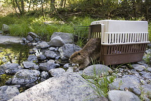American Beaver (Castor canadensis) being released into the wild after being rescued and rehabilitated, Sonoma County Wildlife Rescue, Sonoma County, California  -  Suzi Eszterhas