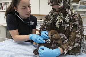 American Beaver (Castor canadensis) wildlife rehabilitators, Jessie Lazaris and Jessie Paolello, examine one-month-old orphaned kit, Sarvey Wildlife Care Center, Arlington, Washington  -  Suzi Eszterhas