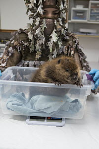 American Beaver (Castor canadensis) wildlife rehabilitator, Jessie Lazaris, weighing one-month-old orphaned kit, Sarvey Wildlife Care Center, Arlington, Washington  -  Suzi Eszterhas