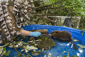 American Beaver (Castor canadensis) wildlife rehabilitator, Jessie Lazaris, with one-month-old orphaned kit, Sarvey Wildlife Care Center, Arlington, Washington  -  Suzi Eszterhas