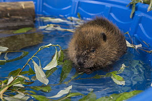 American Beaver (Castor canadensis) one-month-old orphaned kit in pool, Sarvey Wildlife Care Center, Arlington, Washington  -  Suzi Eszterhas