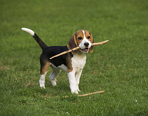 Beagle (Canis familiaris) puppy playing with stick, North America - Mark Raycroft