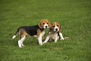 Beagle (Canis familiaris) puppies playing with stick, North America - Mark Raycroft