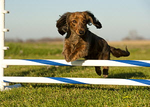 Miniature Long Haired Dachshund (Canis familiaris) jumping, North America  -  Mark Raycroft