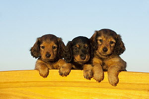Miniature Long Haired Dachshund (Canis familiaris) puppies, North America  -  Mark Raycroft