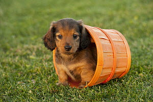 Miniature Long Haired Dachshund (Canis familiaris) puppy, North America  -  Mark Raycroft