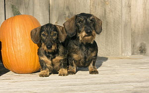 Miniature Wire-haired Dachshund (Canis familiaris) pair, North America - Mark Raycroft