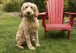Goldendoodle (Canis familiaris), North America - Mark Raycroft
