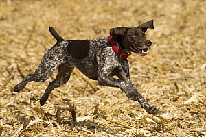 German Shorthaired Pointer (Canis familiaris) running, North America - Mark Raycroft