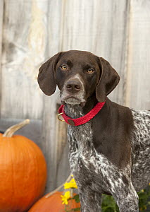 German Shorthaired Pointer (Canis familiaris), North America - Mark Raycroft