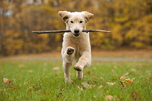 Golden Retriever (Canis familiaris) female puppy playing with stick, North America - Mark Raycroft