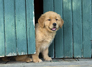 Golden Retriever (Canis familiaris) puppy, North America - Mark Raycroft