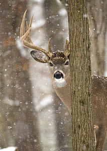 White-tailed Deer (Odocoileus virginianus) buck in snowfall, North America - Mark Raycroft