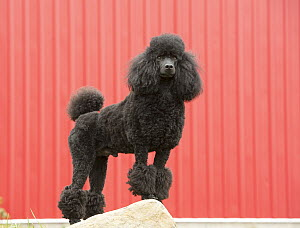 Miniature Poodle (Canis familiaris), North America - Mark Raycroft