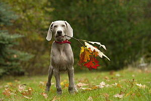 Weimaraner (Canis familiaris) puppy playing with stick, North America - Mark Raycroft