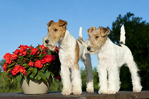 Wire-haired Fox Terrier (Canis familiaris) parent with puppy, North America  -  Mark Raycroft