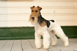 Wire-haired Fox Terrier (Canis familiaris), North America  -  Mark Raycroft