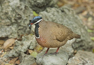 Blue-headed Quail-Dove (Starnoenas cyanocephala), Zapata Peninsula, Cuba  -  Kevin Schafer