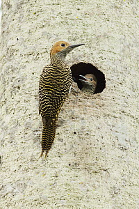 Fernandina's Flicker (Colaptes fernandinae) parent at nest cavity with chick, Zapata Peninsula, Cuba  -  Kevin Schafer