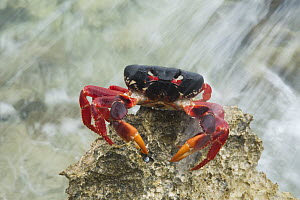 Purple Land Crab (Gecarcinus ruricola) in intertidal zone, Zapata Peninsula, Cuba - Kevin Schafer