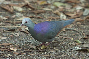 Grey-headed Quail-Dove (Geotrygon caniceps), Zapata Peninsula, Cuba  -  Kevin Schafer