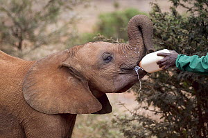 African Elephant (Loxodonta africana) orphaned calf bottle fed by keeper, David Sheldrick Wildlife Trust, Nairobi, Kenya - Jaymi Heimbuch
